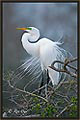 Great Egret 6380